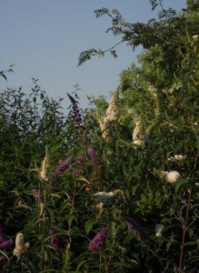 Schmetterlingsstrauch WEB